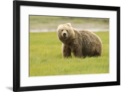 Alaskan, Brown Bear, Ursus Middendorffi, Katmai National Park, Alaska-Howie Garber-Framed Photographic Print