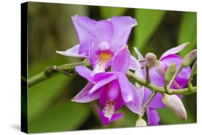 Wild Orchid, Cloud Forest, Upper Madre De Dios River, Peru-Howie Garber-Stretched Canvas Print