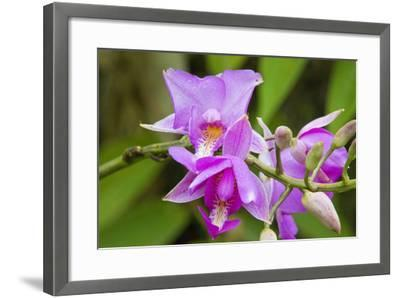 Wild Orchid, Cloud Forest, Upper Madre De Dios River, Peru-Howie Garber-Framed Photographic Print