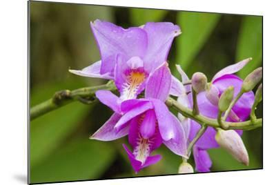 Wild Orchid, Cloud Forest, Upper Madre De Dios River, Peru-Howie Garber-Mounted Photographic Print