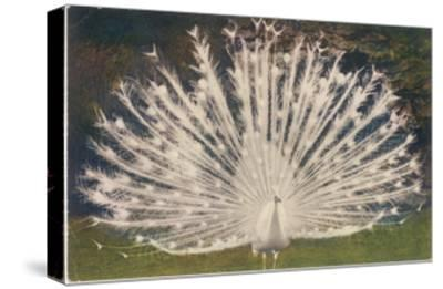White Peacock--Stretched Canvas Print