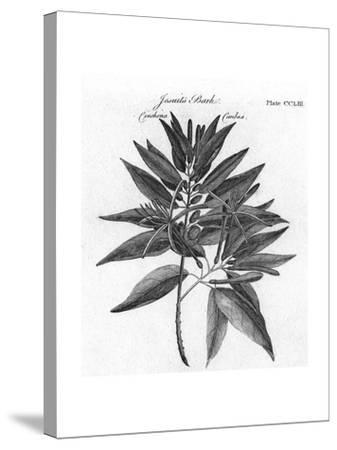 Plants, Cinchona--Stretched Canvas Print