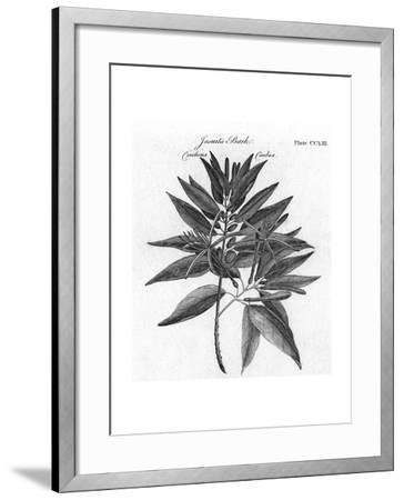 Plants, Cinchona--Framed Giclee Print