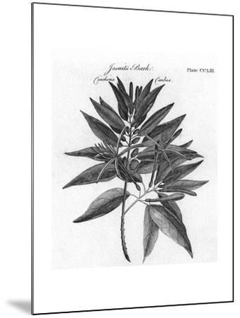 Plants, Cinchona--Mounted Giclee Print