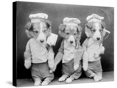 Dogs as Chefs--Stretched Canvas Print