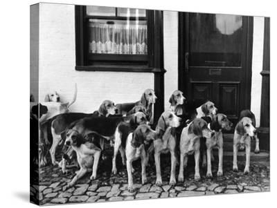 Tickham Foxhounds--Stretched Canvas Print