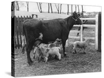 Cow Suckling Lambs--Stretched Canvas Print