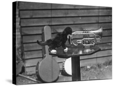 Kitten Trumpeter--Stretched Canvas Print