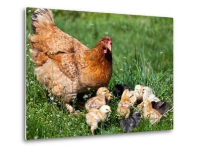 Chicken with Babies-Xilius-Metal Print