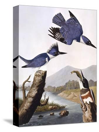 Belted Kingfishe-John James Audubon-Stretched Canvas Print