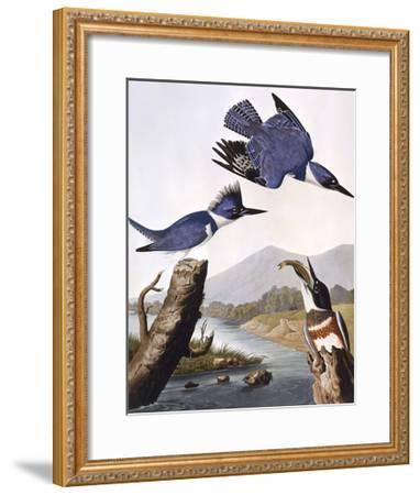 Belted Kingfishe-John James Audubon-Framed Giclee Print