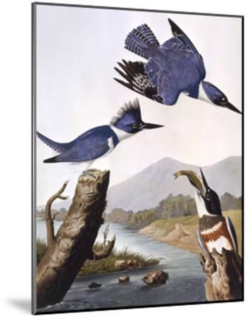 Belted Kingfishe-John James Audubon-Mounted Giclee Print