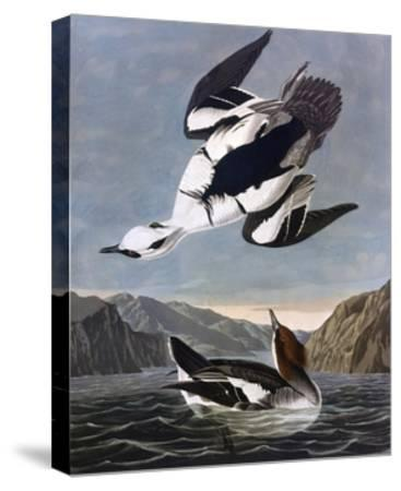 Smew, or White Nun-John James Audubon-Stretched Canvas Print