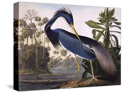 Louisiana Heron-John James Audubon-Stretched Canvas Print