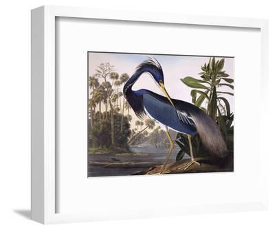 Louisiana Heron-John James Audubon-Framed Premium Giclee Print
