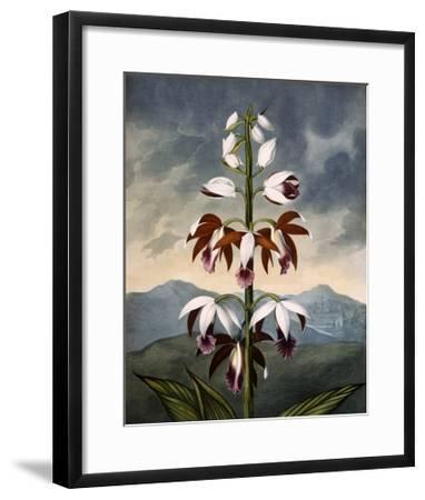 The China Limodoron--Framed Giclee Print