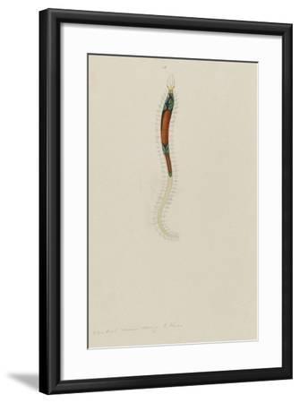 Untitled: Marine Bristle Worm-Philip Henry Gosse-Framed Giclee Print