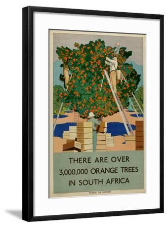 Orange Trees in South Africa, from the Series 'Summer's Oranges from South Africa'-Guy Kortright-Framed Giclee Print