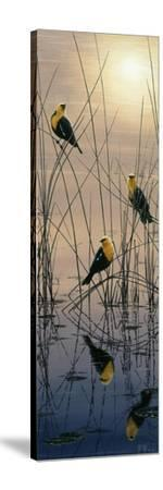 Morning Call - Yellow Headed Blackbirds-Jeff Tift-Stretched Canvas Print