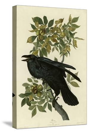 Raven--Stretched Canvas Print