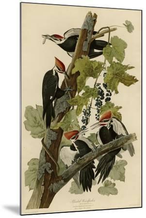 Pileated Woodpecker--Mounted Giclee Print