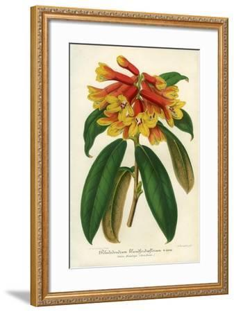 Orange Yellow Rhododendron--Framed Giclee Print