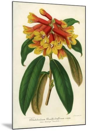 Orange Yellow Rhododendron--Mounted Giclee Print