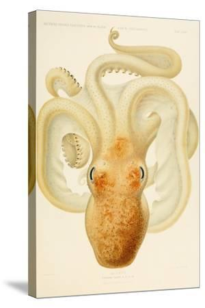 Octopus - Die Cephalopod - 1915 - Plate 76--Stretched Canvas Print