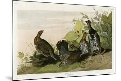 Spotted Grouse--Mounted Giclee Print