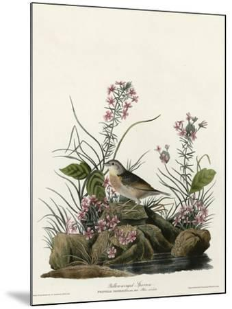 Yellow Winged Sparrow--Mounted Giclee Print
