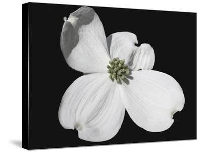 White Dogwood Bloom-Karen Williams-Stretched Canvas Print