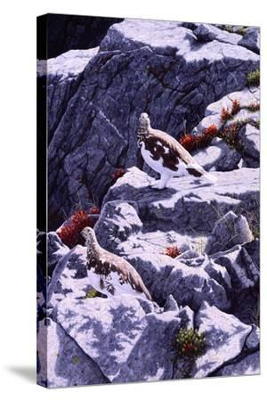 White-Tailed Ptarmigan-Jeff Tift-Stretched Canvas Print