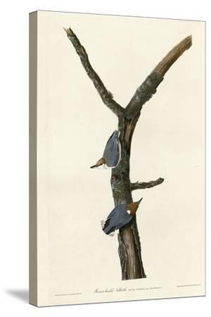 Brown Headed Nuthatch--Stretched Canvas Print