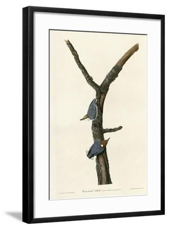 Brown Headed Nuthatch--Framed Giclee Print