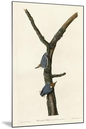 Brown Headed Nuthatch--Mounted Giclee Print