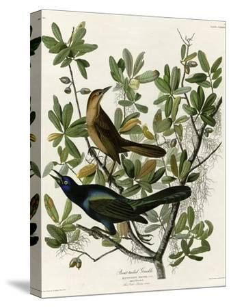 Boat Tailed Grackle--Stretched Canvas Print