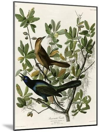 Boat Tailed Grackle--Mounted Giclee Print
