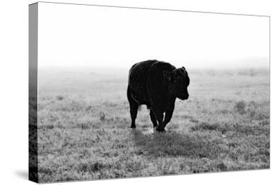 Bull after Ice Storm-Amanda Lee Smith-Stretched Canvas Print