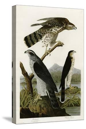 Goshawk Stanley Hawk--Stretched Canvas Print