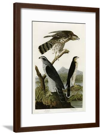 Goshawk Stanley Hawk--Framed Giclee Print