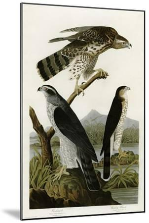 Goshawk Stanley Hawk--Mounted Giclee Print