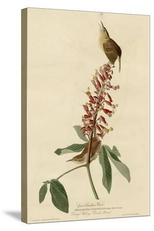 Great Carolina Wren--Stretched Canvas Print
