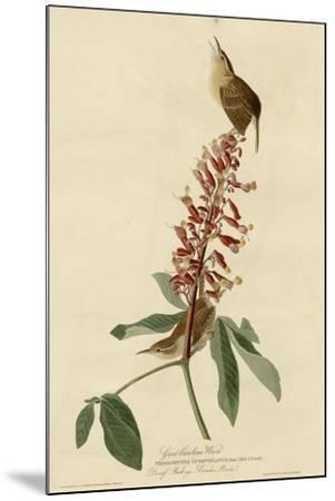 Great Carolina Wren--Mounted Giclee Print