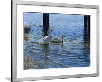 Glistening Water Swans-Bruce Dumas-Framed Giclee Print