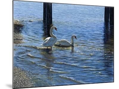 Glistening Water Swans-Bruce Dumas-Mounted Giclee Print