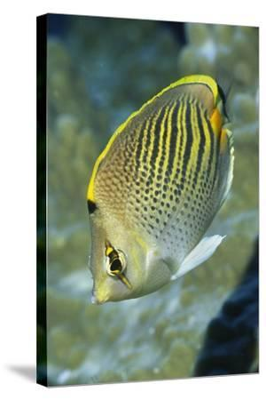 Dot & Dash Butterflyfish-Hal Beral-Stretched Canvas Print