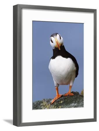 Horned Puffin, Alert, Alaska-Momatiuk - Eastcott-Framed Premium Photographic Print