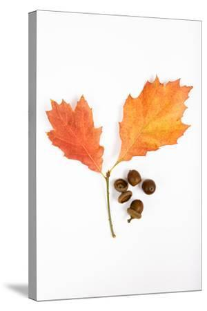 Oak Leaves and Acorns-Frank Lukasseck-Stretched Canvas Print