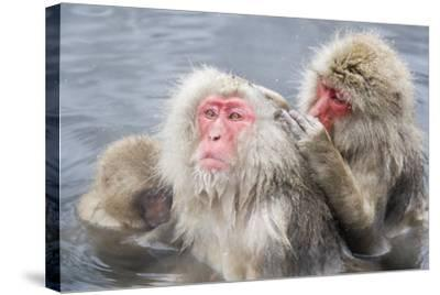 Japanese Macaques in Hot Spring-Frank Lukasseck-Stretched Canvas Print