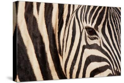 Burchell's Zebra (Equus Burchellii)-Sergio Pitamitz-Stretched Canvas Print